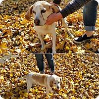 Beagle Mix Dog for adoption in Minneapolis, Minnesota - Libby