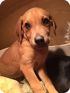 Labrador Retriever/Terrier (Unknown Type, Small) Mix Puppy for adoption in North Brunswick, New Jersey - Tippy
