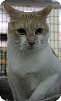 Domestic Shorthair Cat for adoption in Orlando, Florida - Dagobah (CW) 5.10.15