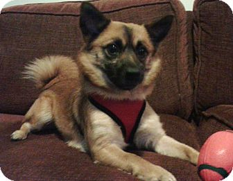 Pug/Pomeranian Mix Dog for adoption in South Amboy, New Jersey - Charlie