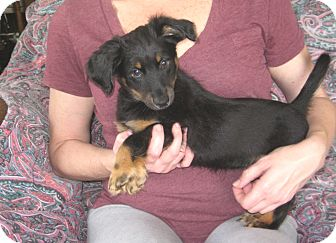 Dachshund Puppy for adoption in Greenville, Rhode Island - Hansel