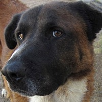 St. Bernard/Black Mouth Cur Mix Dog for adoption in Glendale, Arizona - BRUTUS