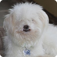 Adopt A Pet :: Tia Maria - Norwalk, CT