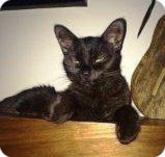 Domestic Shorthair Cat for adoption in Burlington, Ontario - Emily