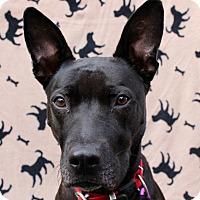 Adopt A Pet :: Sheila - Redondo Beach, CA