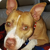 Pit Bull Terrier Mix Dog for adoption in Elmhurst, Illinois - Penny