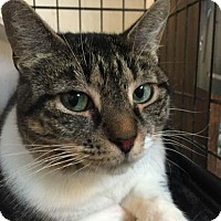 Domestic Shorthair Cat for adoption in East Stroudsburg, Pennsylvania - Audrey