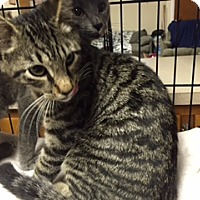 Adopt A Pet :: Lorenzo - Forest Hills, NY