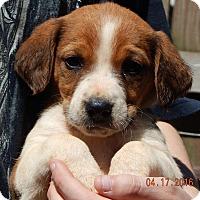 Adopt A Pet :: Dreamer (6 lb) - SUSSEX, NJ