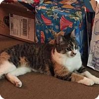 Domestic Shorthair Cat for adoption in Brampton, Ontario - Slash
