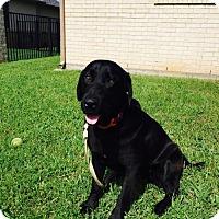 Adopt A Pet :: Gues - Denton, TX