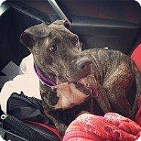 Affenpinscher Dog for adoption in Hampton, Virginia - WENDY