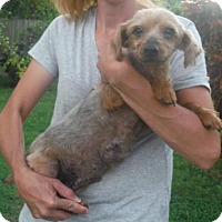 Yorkie, Yorkshire Terrier/Silky Terrier Mix Dog for adoption in Orlando, Florida - Brooklyn
