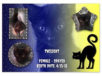 Domestic Shorthair Kitten for adoption in Evans, West Virginia - Twilight