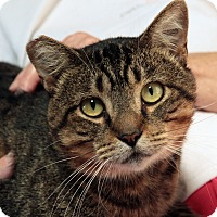 Domestic Shorthair Cat for adoption in St. Louis, Missouri - Marvin Gaye