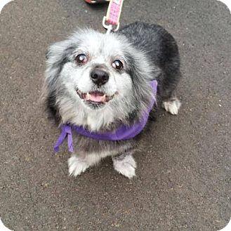 Cardigan Welsh Corgi/Schnauzer (Standard) Mix Dog for adoption in Burlington, North Carolina - Betty White
