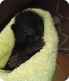 Domestic Shorthair Kitten for adoption in Garland, Texas - Finn