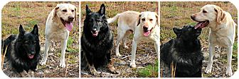 Shepherd (Unknown Type)/Labrador Retriever Mix Dog for adoption in Forked River, New Jersey - Bella & Luke