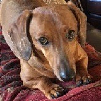 Dachshund Mix Dog for adoption in Houston, Texas - Charlie Chenango