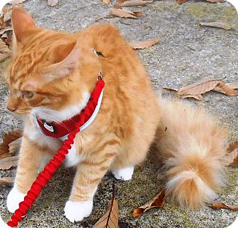 Domestic Longhair Cat for adoption in Parkton, North Carolina - Meow-Gee