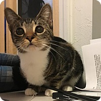Domestic Shorthair Cat for adoption in Naugatuck, Connecticut - Destiny
