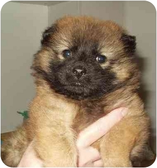 COURAGE | Adopted Puppy | Boonton, NJ | Chow Chow/Keeshond Mix