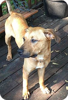 Rhodesian Ridgeback/Black Mouth Cur Mix Dog for adoption in Nashville