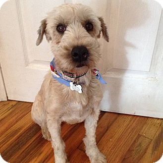 mini wheaten terrier sabrina adopted dog redondo beach ca schnauzer 5961