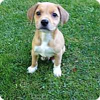 Adopt A Pet :: Buddy - Hancock, MI