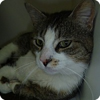 Adopt A Pet :: Big Kat - Hamburg, NY