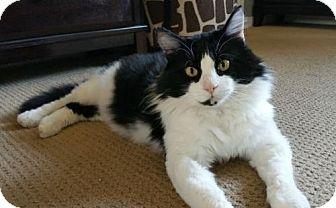 Domestic Longhair Cat for adoption in Ventura, California - Sammy