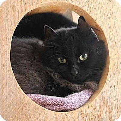 Domestic Shorthair Cat for adoption in Lunenburg, Massachusetts - Pepper