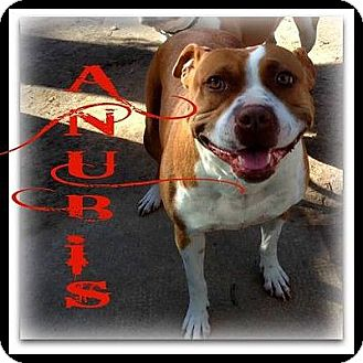 American Staffordshire Terrier/American Pit Bull Terrier Mix Dog for adoption in Staunton, Virginia - Anubis