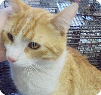 Domestic Shorthair Cat for adoption in Rapid City, South Dakota - Sir
