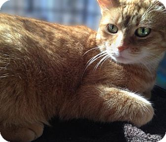 Domestic Shorthair Cat for adoption in Brooklyn, New York - Ciara: Sweetie with a bit of Catitude