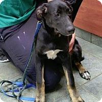 Adopt A Pet :: Pixie Stick - Hillside, IL