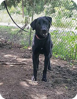 Labrador Retriever Dog for adoption in Jay, New York - Stetson