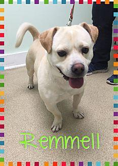 Pug/Labrador Retriever Mix Dog for adoption in Greensboro, Maryland - Remmell