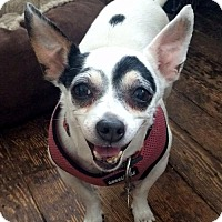 Chihuahua/Terrier (Unknown Type, Medium) Mix Dog for adoption in Staten Island, New York - Lolita