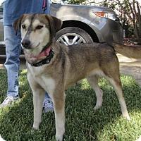 Adopt A Pet :: Amber - Bedford, TX