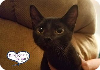 Domestic Shorthair Kitten for adoption in Lee's Summit, Missouri - Hermione
