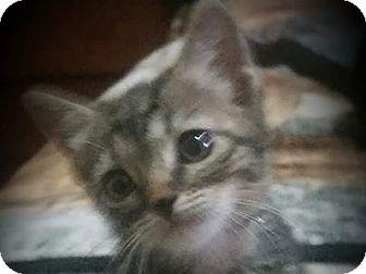 Domestic Shorthair Kitten for adoption in Corinne, Utah - Erma
