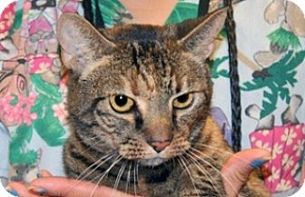 Domestic Shorthair Cat for adoption in Wildomar, California - Phoebe