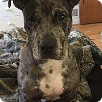 Adopt A Pet :: Yoda - Kirkland, WA