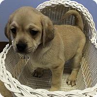 Adopt A Pet :: Lyle - Aurora, CO