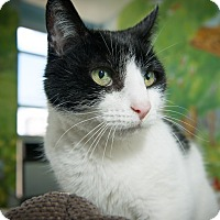 Domestic Shorthair Cat for adoption in New York, New York - Norton