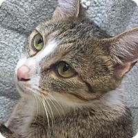 Domestic Shorthair Cat for adoption in West Des Moines, Iowa - Slippers