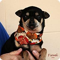Chihuahua Mix Dog for adoption in Santa Maria, California - Fievel