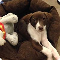 Border Collie/Labrador Retriever Mix Puppy for adoption in Westport, Connecticut - Rarity