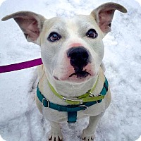 American Pit Bull Terrier Mix Dog for adoption in Reisterstown, Maryland - Alex